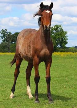 Les jeunes chevaux duliedupommeray